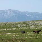 Wild horses on Cincar mountain