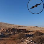 Griffon Vulture (Gyps fulvus), (Croatian: bjeloglavi sup)