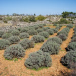 The lavender garden on The Island of Hvar