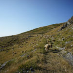 Flock of sheep on the trail on Korab mountain