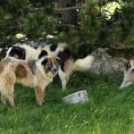 Shepherd dogs at Čvrsnica mountain.
