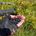 Sinjajevina mountain. Blueberries near the short hiking section.