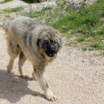 The shepherd dog at Gornji Doci