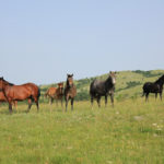 The horses at Bile
