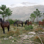 The horses at Srđ
