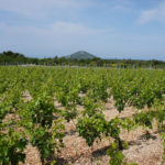 The vineyard next to the trail Primošten - Rogoznica
