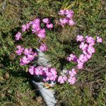 Dianthus caryophyllus (Clove pink, croatian: divlji karanfil)